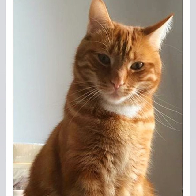 Rufus? #redcat #instacat #redhead