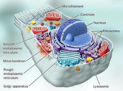 De plaats van de mitochondrien in de cel