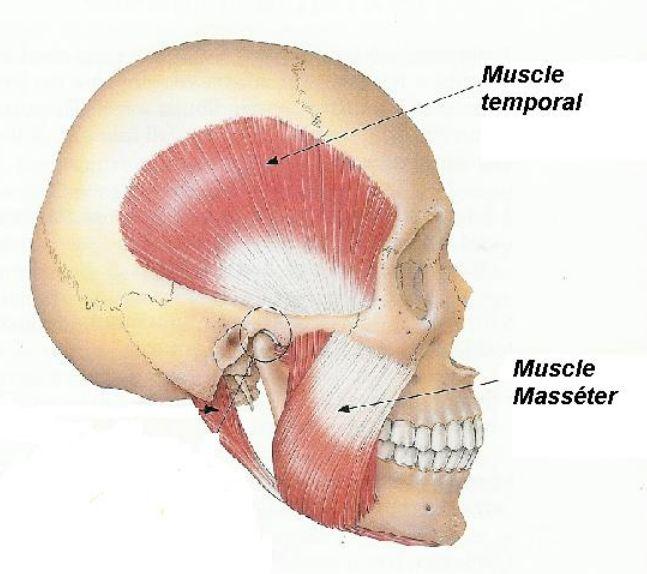 muscle masseter