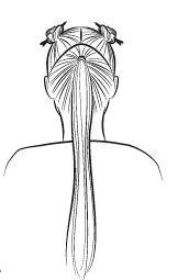 ponytail stap 1