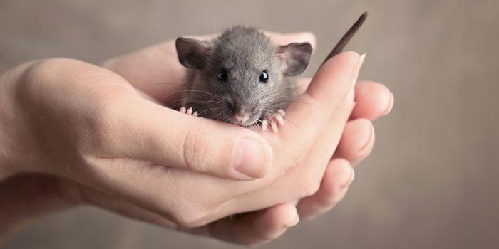 dierproeven muis